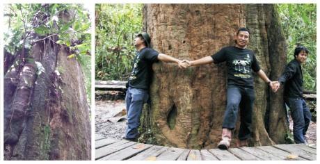 Pohon Ulin Raksasa - Dok. Pribadi